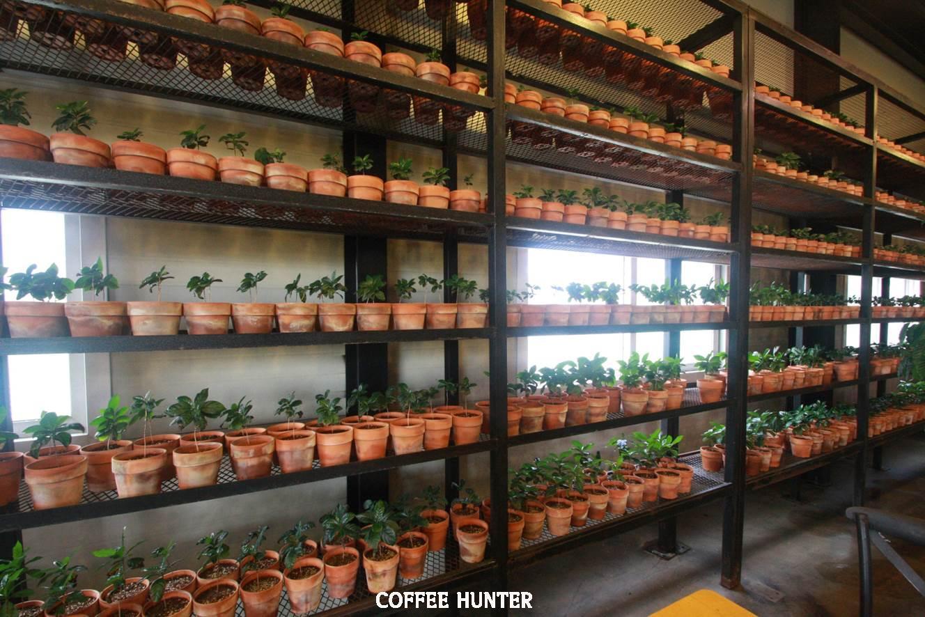 커피나무 화분.jpg