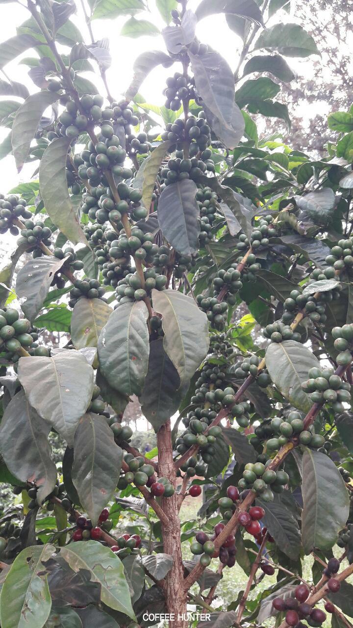 커피나무2.jpg