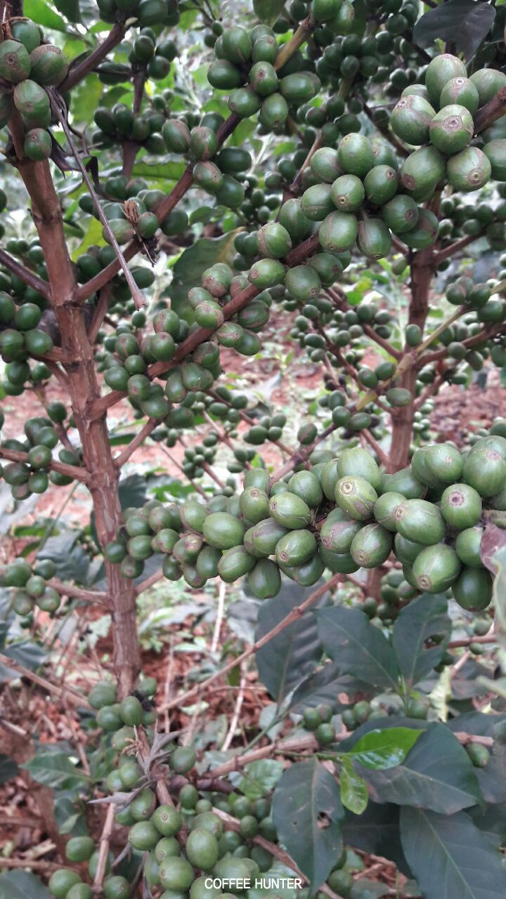 커피나무4.jpg