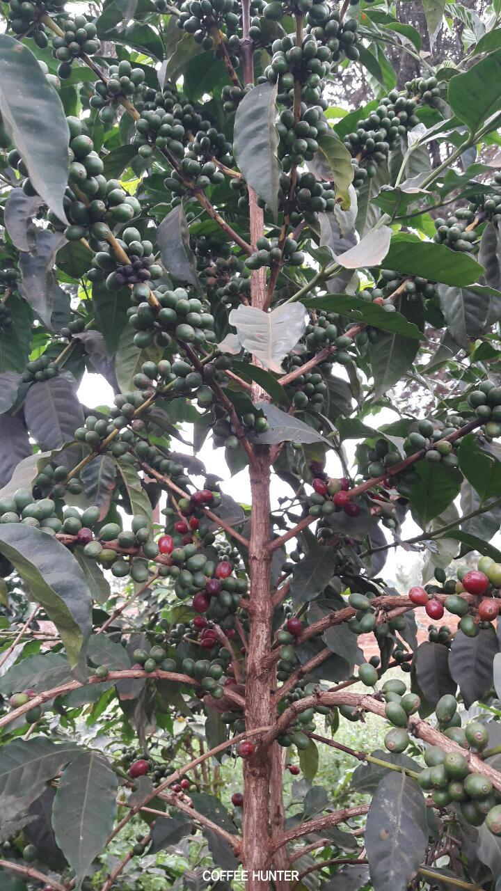 커피나무3.jpg